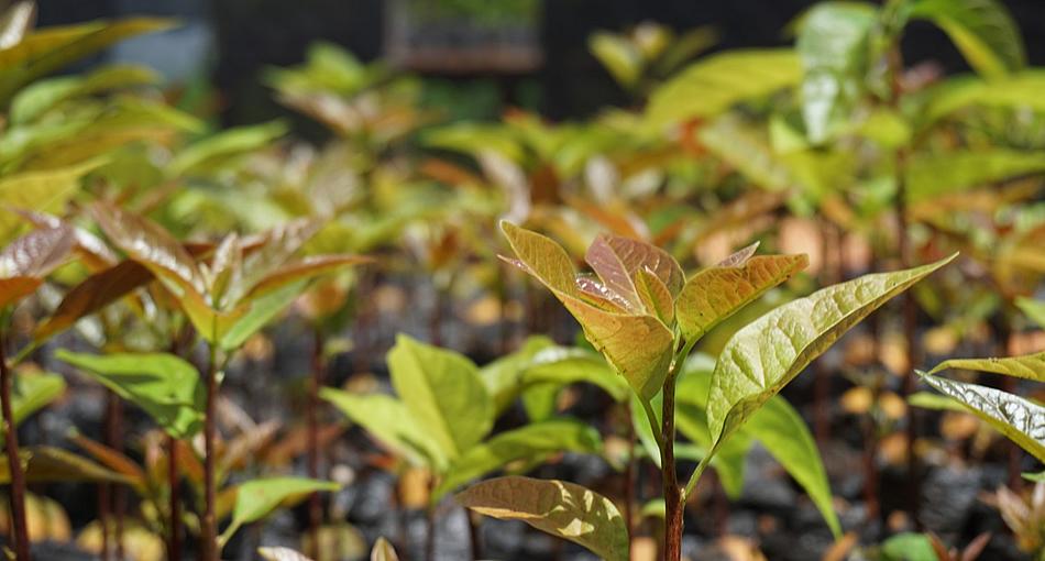 Avocado Farming Best Practices | Kanyaboli Trading